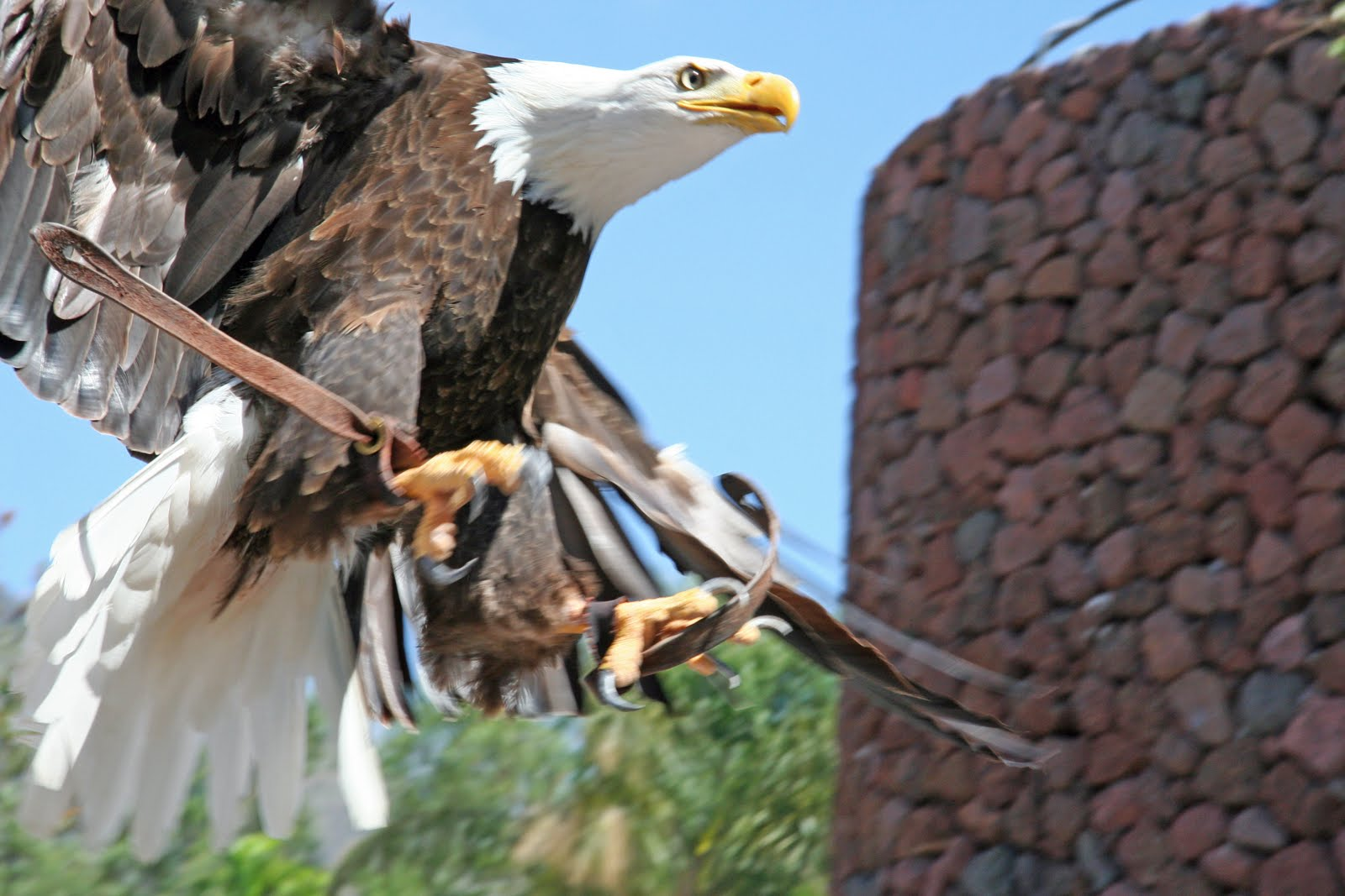 На фото дресированый орел